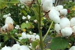 record yield of white gold  cotton  in punjab