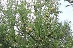 attack of the crucifix on apple trees