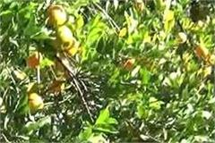 nagpuri orange on the verge of extinction government takes firm steps