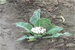 cold rise brought frost vegetable crop deteriorated temperature 3 degree