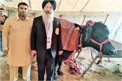ludhiana dairy expo hisar buffalo sets world record
