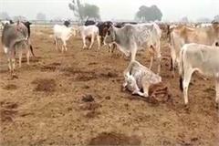 etawah skeletal of cows found in goshala stir in administration