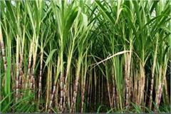 haryana government s big decision on sugarcane rate farmers will benefit