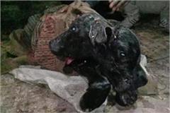haryana murrah breed buffalo gave birth to a two faced cub