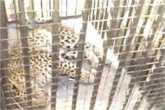 leopard enters farm house
