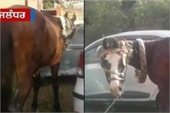 horse in jalandhar police s custody
