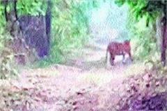 tiger seen walking in the streets of pilibhit video viral
