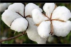 captan amarinder singh cotton crops