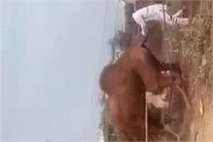 people from the village of haivan tied with ropes to beat the camel s fiercely