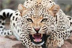 4 injured by leopard attack panic in village