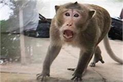 monkey attack in balrampur 2 deadly attacks on women