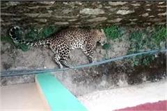 fly senses of people to see the leopard forest department caught like this
