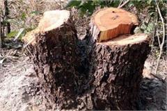 forest mafia cut trees from government forests