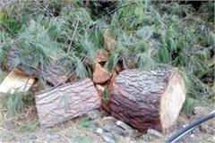 forest mafia cut the trees in forest