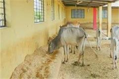 cows died in the salariya gao sanctuary