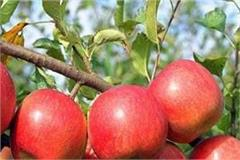 usa from junk to himachal rs 4200 crore apple industry