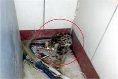 leopard cubs in the atm room