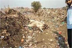 died cows found in dump villagers protested