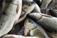 trout fish will now be produced in bilaspur