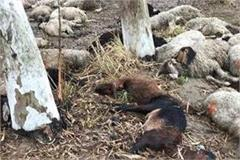 45 sheep and goats died due to falling lightning
