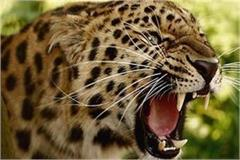 leopard attacked the teenager working in the farm death