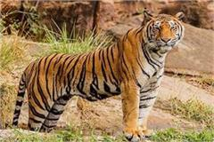 8 predators took the life of another tiger