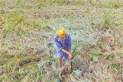 loss of crops by rain and wet fall in jalaun