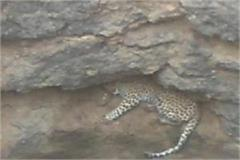 leopard dropped in well in hunting forest department gathered in rescue