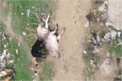 dog tearing cow viral video in tohana fatehabad