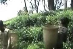 kangra tea will spread its fragrance