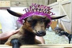 precedent of mamta happy birthday goats