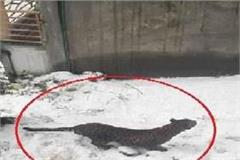 leopard sparks panic in manali
