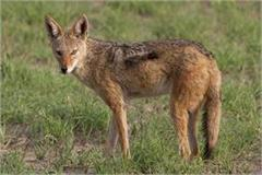 jackal launches terror in village 4 women injured