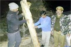 2 arrested with 3 logs of cedar one absconding