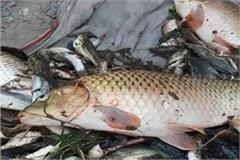 thousands of fishes died