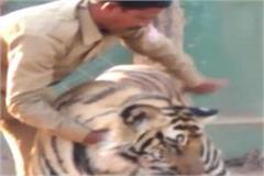 forest department employee s tiger with video viral delhi orders for inquiry