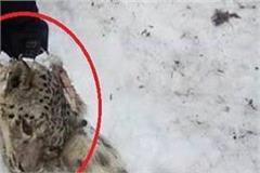 snow lapard