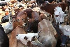 10 772 cow death in a year and a half in sirsa cowshed