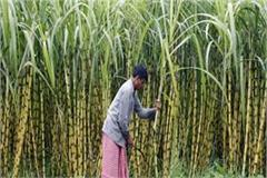 good news for sugarcane farmers in election season 98 crores payout
