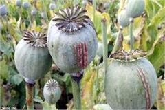 opium farming busted in khara village of paonta