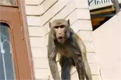 in the attack of monkeys the death of a rural elderly from the roof