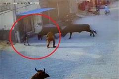 school child trapped in battle of two bulls video viral