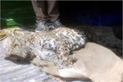 sensation extends during found deadbody of leopard