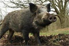 farmer attacked by wild boar