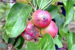scab disease in apple garden