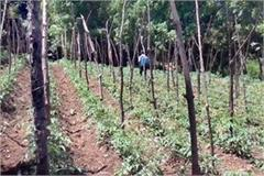 tomato crop in sirmaur