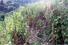 opium crop