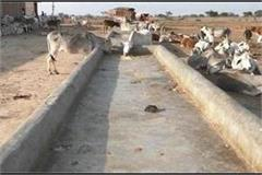hamirpur the cattle that deviated for each of water in summer
