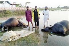 81 buffaloes drown due to rising water level in sutluj