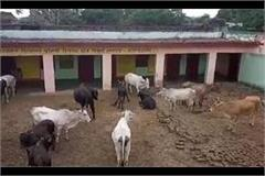 busted cattle villagers